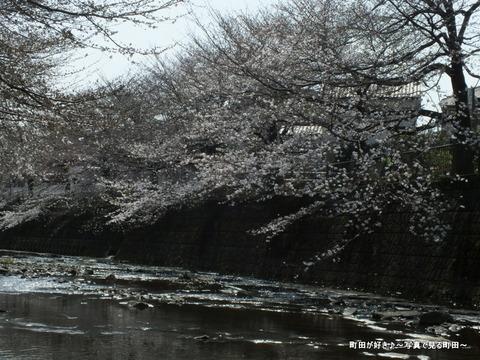 2013032051恩田川の桜@高瀬橋
