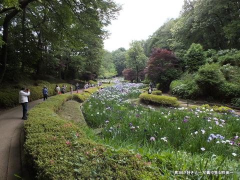 2013060806薬師池公園の花菖蒲が見ごろです