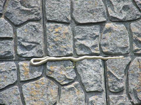 2010051618恩田川ヘビ蛇