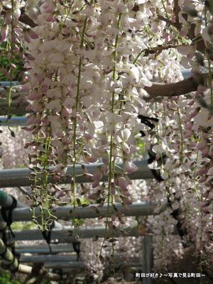 20140428144薬師池公園の藤の花
