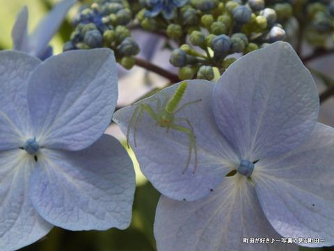 2013060861紫陽花と蜘蛛?