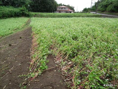 2011092333残念な、蕎麦の白い花たち