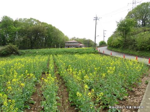 20140419096七国山の菜の花畑