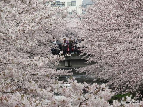2016040356恩田川の桜