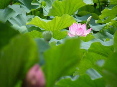 2009071141.jpg 薬師池公園の大賀ハスの花