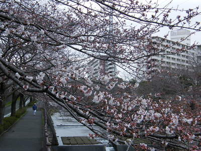 2009032808.jpg 恩田川の桜、1分咲きから3分咲き