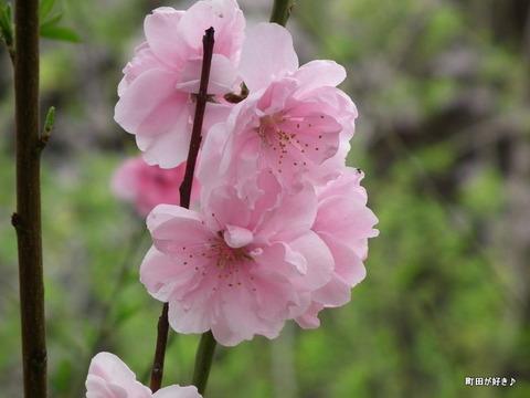20110410143恩田川・高瀬橋の桜