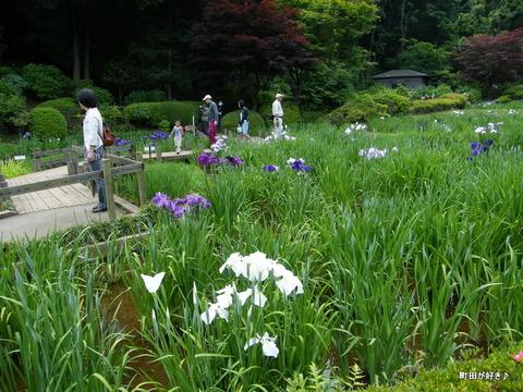 20100605109薬師池公園の花菖蒲