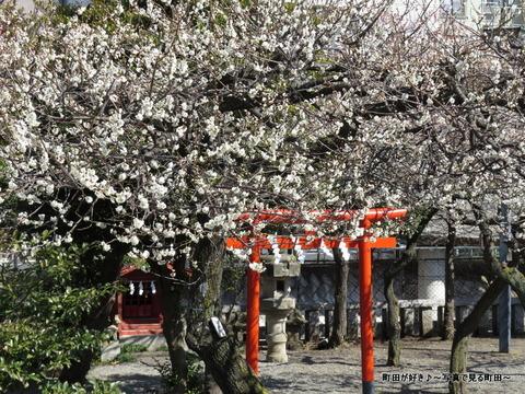 2014030831町田天満宮の梅の花