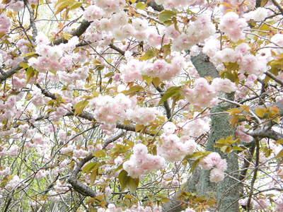 20090418165.jpg 薬師池公園 ヤエザクラ(八重桜)