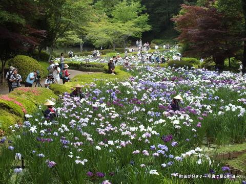 2013060807薬師池公園の花菖蒲が見ごろです