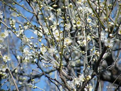 20100130054薬師池公園白梅