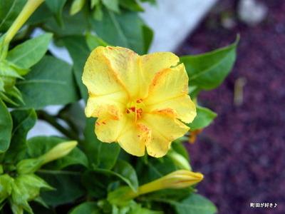 2010101111オシロイバナ(白粉花)