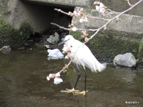 2016032109恩田川のシロサギ