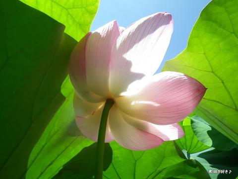 2011071648薬師池公園の大賀ハス
