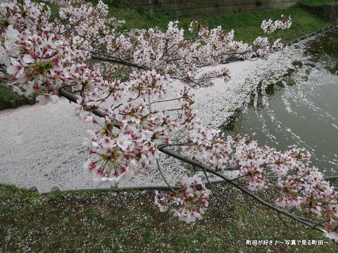 20150404161サクラの花びら@恩田川沿いの弁天橋公園