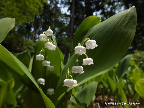 20130429073町田えびね苑、2013年開花の様子