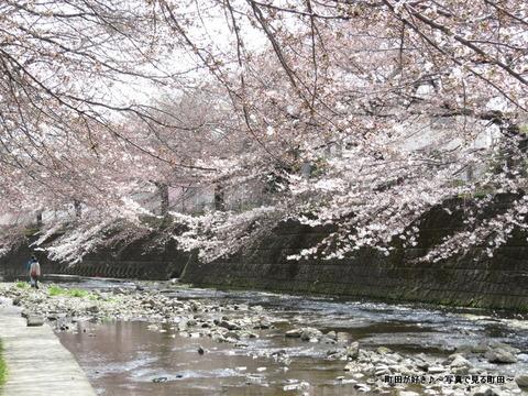 2015032860恩田川の桜並木