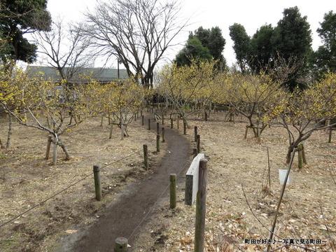 2014010406忠生公園のロウバイ