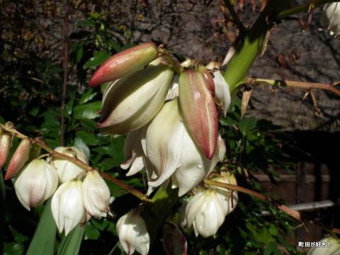 20101204065白い花薬師池公園