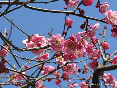 2014030825町田天満宮の梅の花