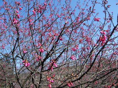 20090221060.jpg カンヒザクラ(寒緋桜)