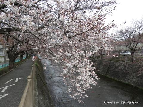 2015032817恩田川の桜並木
