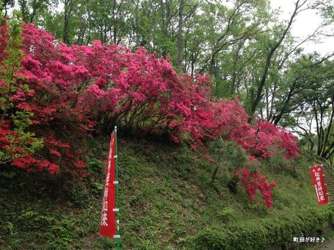 2012043039薬師堂旧参道のツツジの花