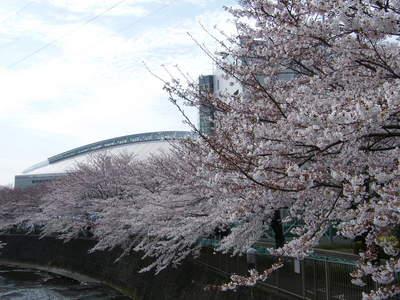 20090404033.jpg 恩田川の桜が見頃です