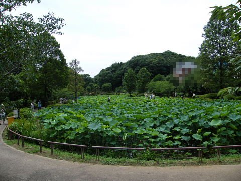 2009071114.jpg 薬師池公園の大賀ハスの花