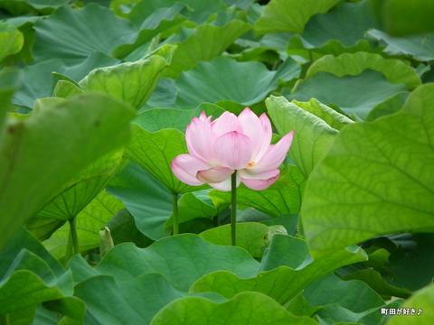 2012071405薬師池公園の大賀ハス