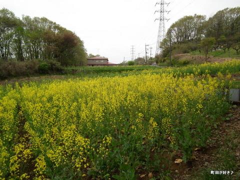20120422063七国山の菜の花畑の様子