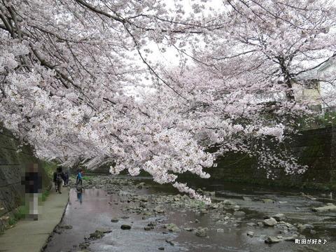 2016040252恩田川・高瀬橋付近の桜