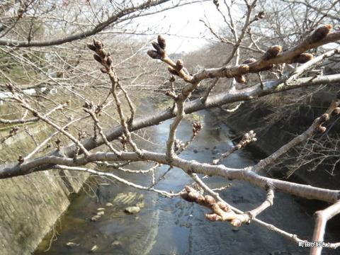 2016022801桜のつぼみ@恩田川