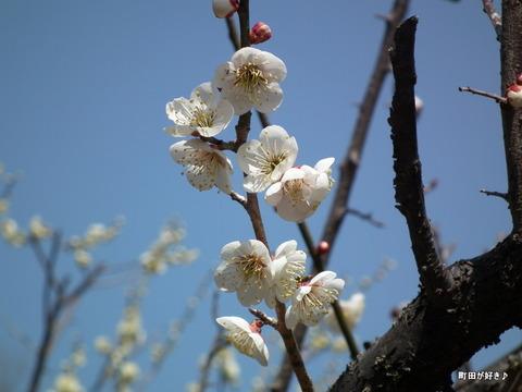 2012032034薬師池公園の梅の花