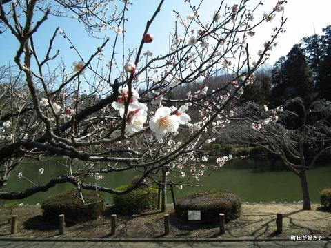 20110226104薬師池公園ウメ梅