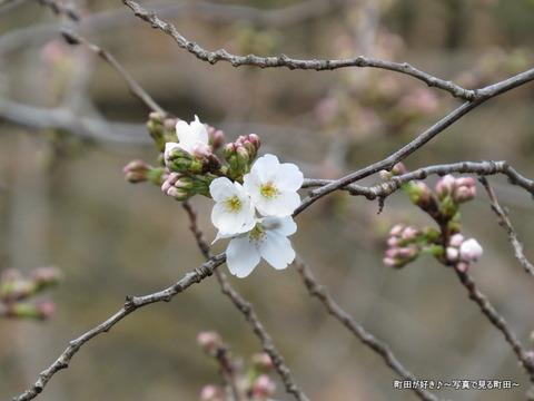 2015032209恩田川の桜並木