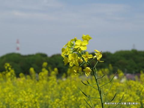 20140428076七国山の菜の花畑