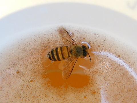 2008092376.jpg 酒に溺れる蜂