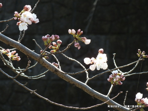 20130316242013勝手に開花宣言!@恩田川