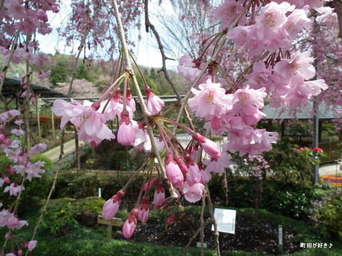 20120415041日曜日の町田ぼたん園