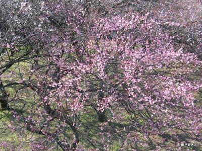 20100130075町田市本町田梅の花