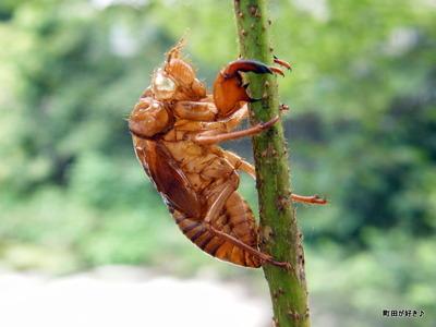 20100808007セミ(蝉)の抜け殻