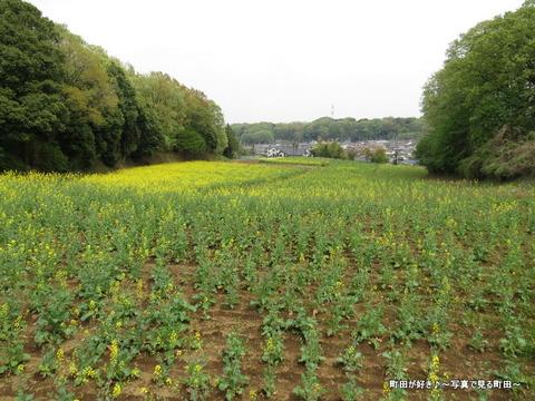 20140419099七国山の菜の花畑