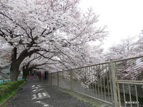 20160402167恩田川の桜