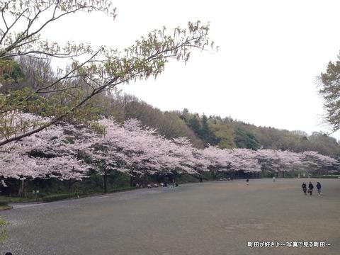20130331112芹ヶ谷公園のサクラが満開でした
