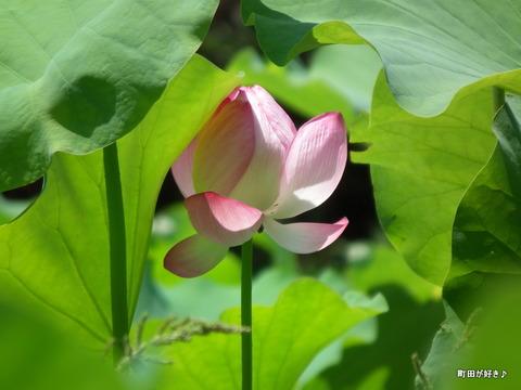 2011071625薬師池公園の大賀ハス