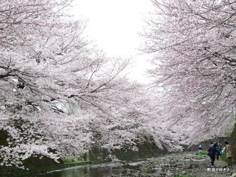 2016040260恩田川・高瀬橋付近の桜
