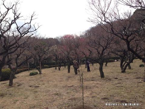 20130303116薬師池公園の梅の花