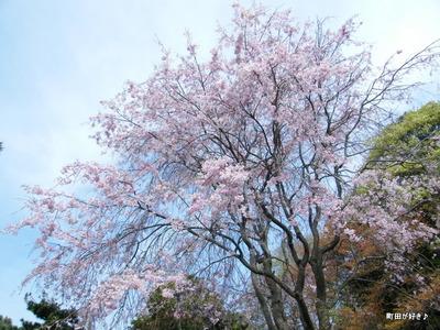20100418113シダレザクラ(枝垂桜)